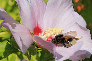 image of Bumblebee on Hibiscus Blossom