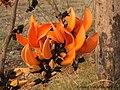 Butea monosperma (Lam.) Taub. Fabaceae (16406628812).jpg
