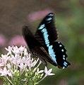 Butterfly 9 (4867232148).jpg