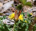 Butterfly Mammoth Lakes (20140420-0062).JPG
