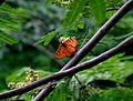 Butterfly at Theosophical Society.jpg