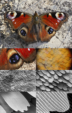 Butterfly magnification series