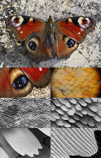 Structural coloration - Butterfly wing at different magnifications reveals microstructured chitin acting as a diffraction grating