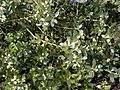Buxus balearica.jpg
