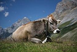 Vache (Brune suisse ou Brune des Alpes) vue sous la Fuorcla Sesvenna en Engadine