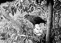 COLLECTIE TROPENMUSEUM Een slangenbuizerd (Spilornis) voert een jong in het nest in Dampar Oost-Java TMnr 10006586.jpg