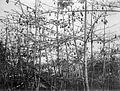 COLLECTIE TROPENMUSEUM Kapokbomen in vrucht TMnr 10011511.jpg