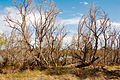 CSIRO ScienceImage 341 Dead willows along the banks of the River Murray.jpg
