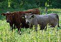 Cachena Rinder 1 42.jpg