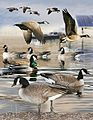 Cackling goose From The Crossley ID Guide Eastern Birds.jpg