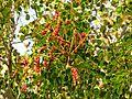 Caesalpinia in Celestún Estuary - Flickr - treegrow (2).jpg