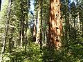 Calaveras Big Trees State Park - South Grove, CA - panoramio (1).jpg