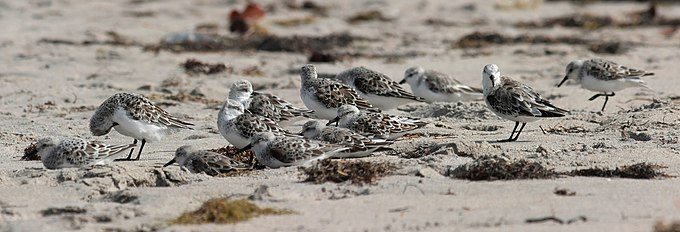 Calidris alba group edit.jpg