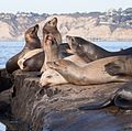 California sea lions in La Jolla (70470).jpg