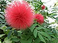 Calliandra haematocephala-オオベニゴウカン、大紅合歓、カリアンドラ.jpg