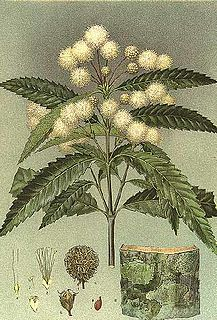 <i>Callicoma</i> genus of plants