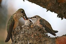 Beija-flor empoleirado na beira de um pequeno ninho coloca comida na boca de um dos dois filhotes