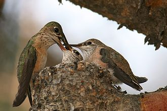Parental investment - A female calliope hummingbird feeding her chicks