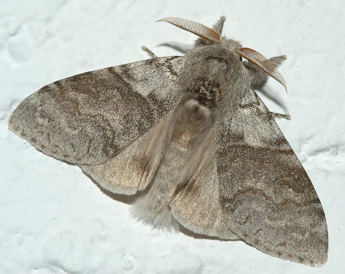 Calliteara pudibunda wikipedia - Gros papillon de nuit dangereux ...