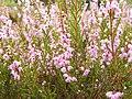 Calluna vulgaris 005.jpg