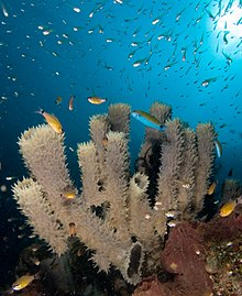Marine habitats for tube sponges which in turn become marine habitats