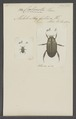 Calonota - Print - Iconographia Zoologica - Special Collections University of Amsterdam - UBAINV0274 020 04 0004.tif