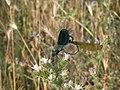 Calopteryx splendens - parenje, Srbija (16).jpg