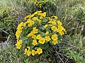 Caltha palustris Marsh-marigold kingcup (bekkeblom soleihov) wetland brook (våtmark bekk) Pirane, Hvasser, Oslofjorden, Norway 2021-05-13 IMG 9446.jpg