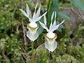 Calypso bulbosa var. occidentalis (3).jpg