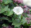 Calystegia sepium flower.jpg