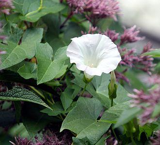 Calystegia sepium - Calystegia sepium flower and foliage.