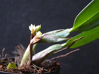 <i>Camaridium vestitum</i> species of plant