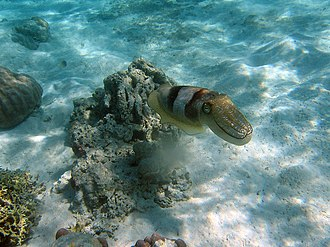 Cephalopod intelligence - A cuttlefish employing camouflage in its natural habitat.