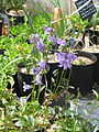 Campanula stevenii beauverdiana (20109256149).jpg