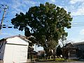 Camphor tree at front of Suga Shrine in Ogi.jpg
