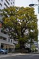 Camphor tree in Hongō, Tokyo 201504 01.jpg