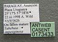 Camponotus mus casent0173433 label 1.jpg