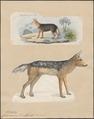 Canis aureus - 1700-1880 - Print - Iconographia Zoologica - Special Collections University of Amsterdam - UBA01 IZ22200037.tif
