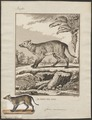 Canis cancrivorus - 1700-1880 - Print - Iconographia Zoologica - Special Collections University of Amsterdam - UBA01 IZ22200433.tif