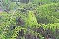 Canthium coromandelicum 4.jpg