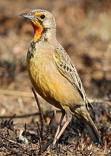 Cape Longclaw or Orange-throated Longclaw, Macronyx capensis at Suikerbosrand Nature Reserve, Gauteng, South Africa.jpg