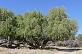 Cape Willows (Salix mucronata) (31958860883).jpg