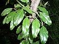 Capparis fascicularis var fascicularis Athlone 04 11 2010.JPG