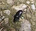 Carabidae. Abax parallelipipedus (36104416091).jpg