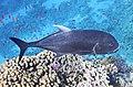 Caranx im Roten Meer..DSCF3652WI.jpg