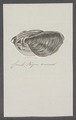 Cardiacea spec. - - Print - Iconographia Zoologica - Special Collections University of Amsterdam - UBAINV0274 077 06 0002.tif