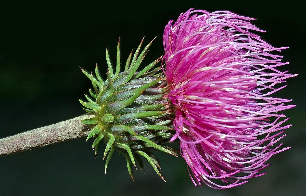 Chardon wikip dia - Nom de fleur en anglais ...