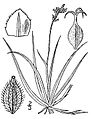 Carex concinna.jpg