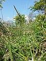 Carex flacca (subsp. flacca) sl1.jpg