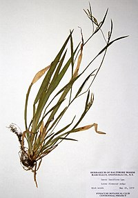 Carex laxiflora BW-1979-0522-0294.jpg